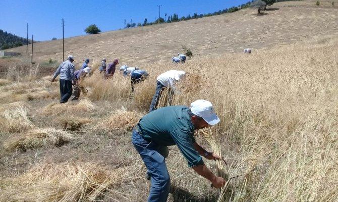 Ata yadigarı ellik ve orakla ekin biçiyorlar