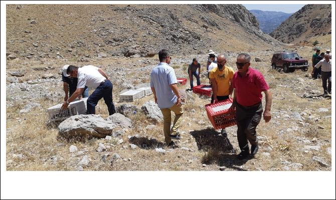Nurhak'ta bin 500 keklik doğaya kanat çırptı