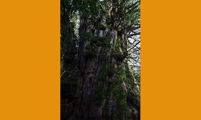 2300 yaşındaki ağaç ilgi bekliyor