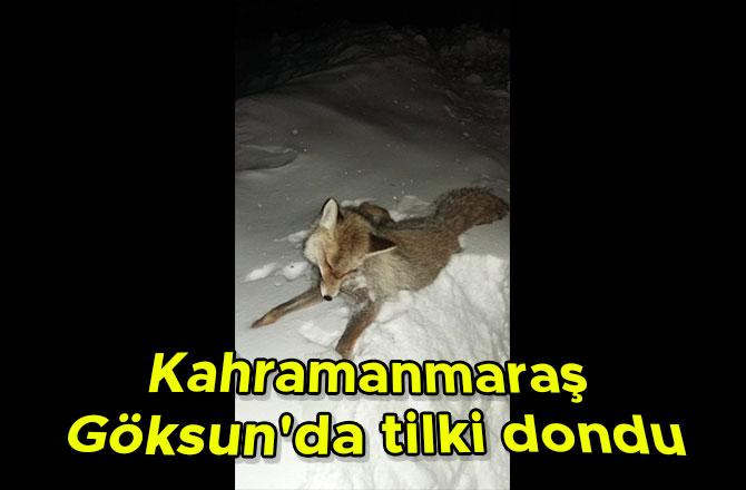 Kahramanmaraş Göksun'da tilki dondu