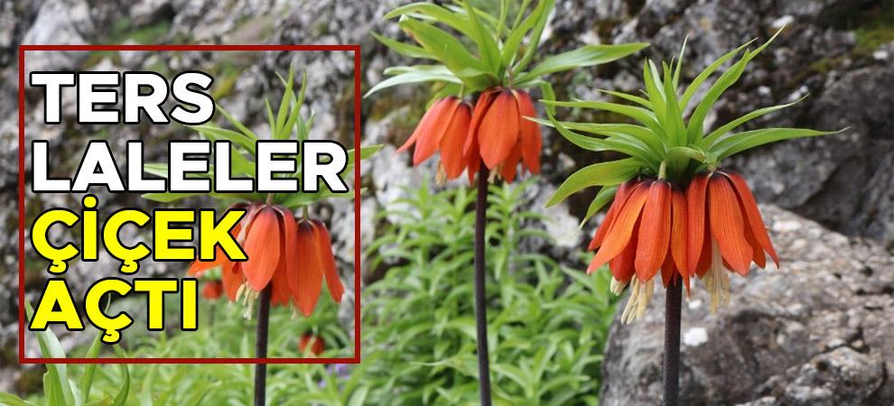 Kahramanmaraş'ta ters laleler çiçek açtı