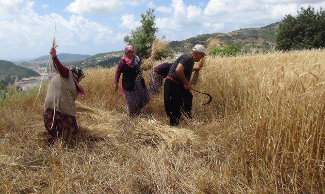 Türkiye'nin ilk buğday hasadı Antalya'dan