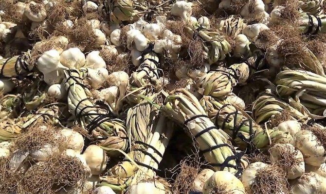 Kahramanmaraş'ta sarımsak hasadı başladı