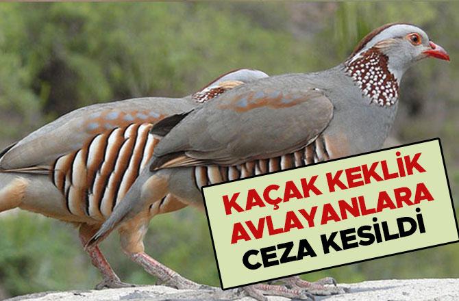 Kahramanmaraş'ta kaçak keklik avlayanlara ceza kesildi