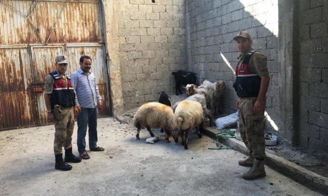 Kahramanmaraş'ta hayvan hırsızları yakalandı