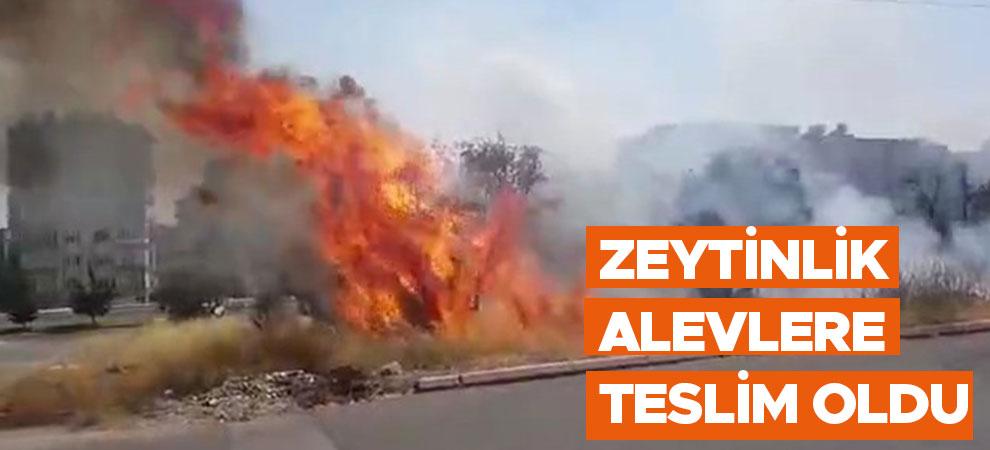 Kahramanmaraş'ta zeytinlik alevlere teslim oldu