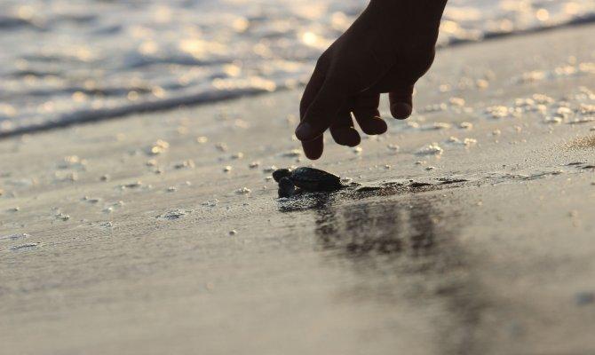 Caretta yavruları denize kavuşma yolculuğunda