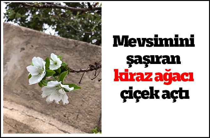 Mevsimini şaşıran kiraz ağacı çiçek açtı