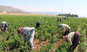 Kahramanmaraş'ta turşuluk biber üretimine başlandı
