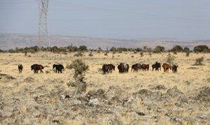 Kahramanmaraş'ta sahipsiz atlar ilginç görüntülere neden oldu