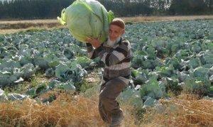 Kahramanmaraş'ta dev lahanaların hasadı başladı