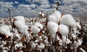Öztunç: Pamuk üreticisi devletten güvence istiyor