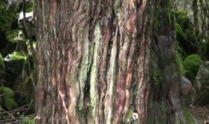 Dünyanın en eski ağaçlarından biri Andırın'da