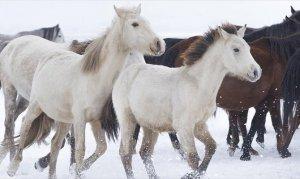 Yılkı atları kar üstünde büyüledi