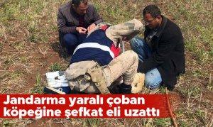 Jandarma yaralı çoban köpeğine şefkat eli uzattı