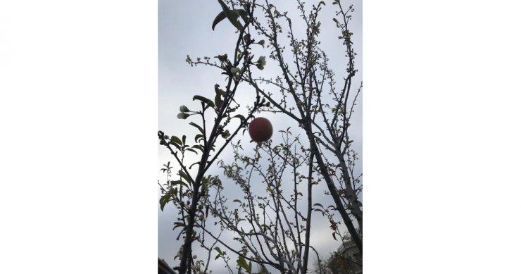 erik ağacının kış mevsiminde çiçek açması hayrete düşürdü