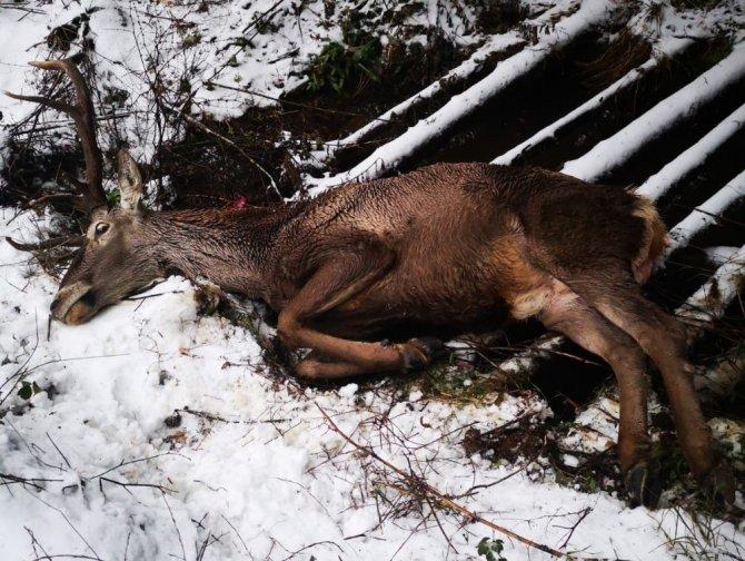Başkonuş yaylasında çukura düşen geyik bulundu
