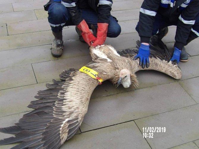 Pazarcık'ta nesli tükenmekte olan kızıl akbaba bulundu