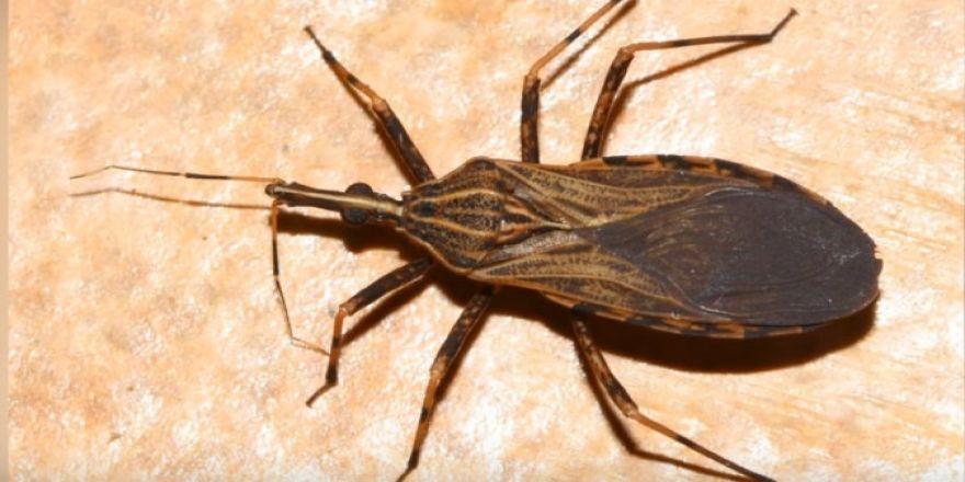 Dünyadaki En Tehlikeli 10 Böcek Türü