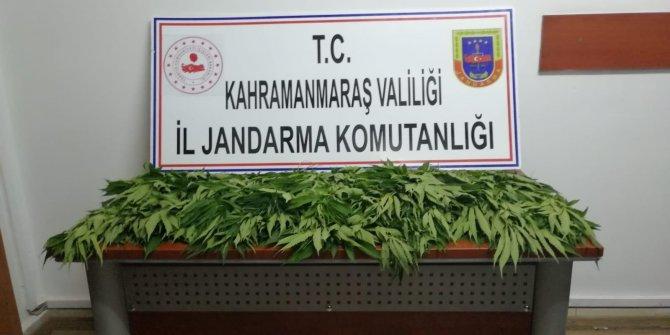 Kahramanmaraş'ta 64 Kök Kenevir ele geçirildi